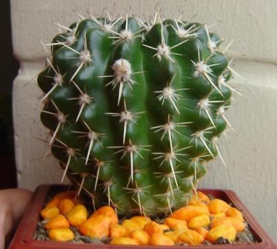 """""""Notocactus Mammulosus"""""""