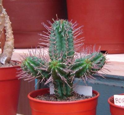 """Euphorbia Submammillaris"""