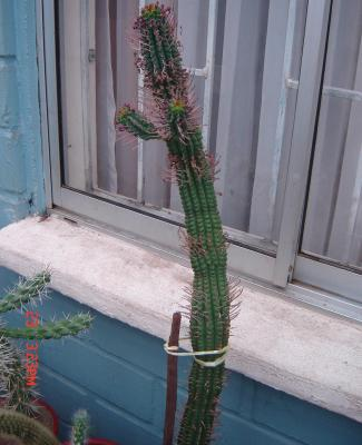 """Euphorbia Submammillaris ..."""